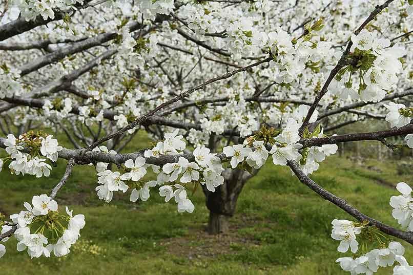 El Valle del Jerte florece pese al coronavirus