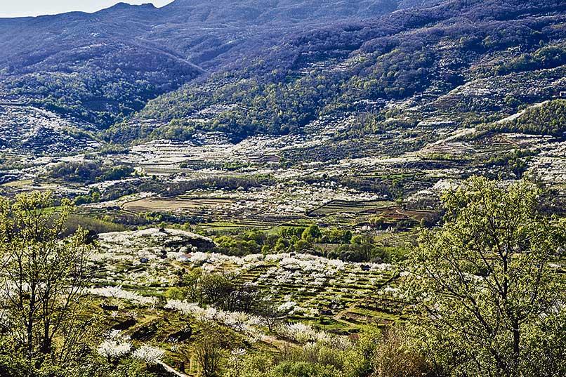 Empieza el espectáculo del cerezo en flor en el Valle del Jerte