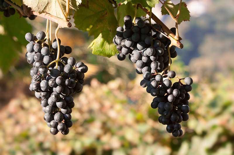 Extremadura podrá plantar 272,4 nuevas hectáreas de viñedo este año