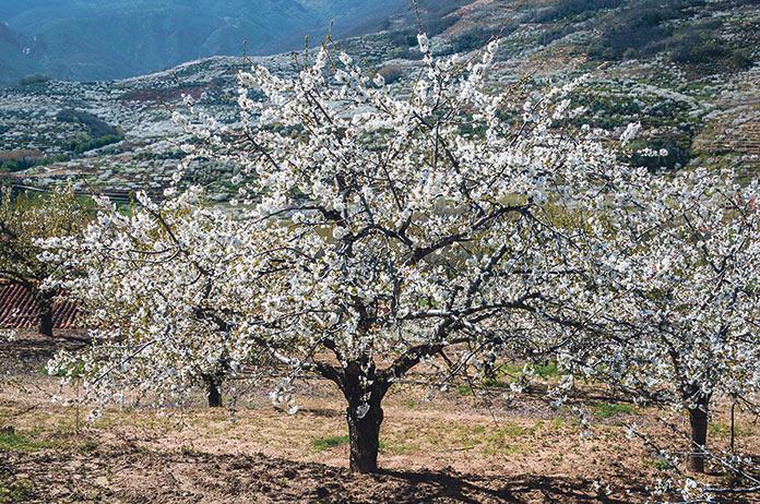 Cerezo en Flor Jerte 2019