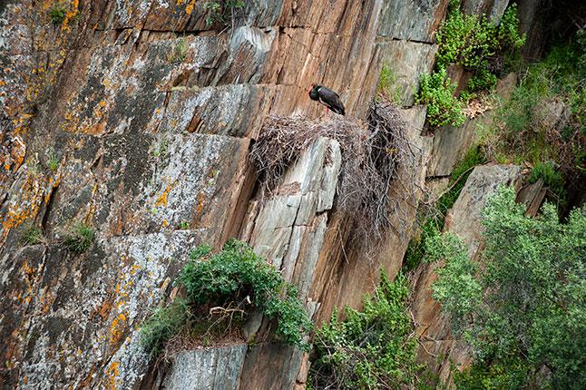 Cigüeña negra. Birding en el Taejo Internacional