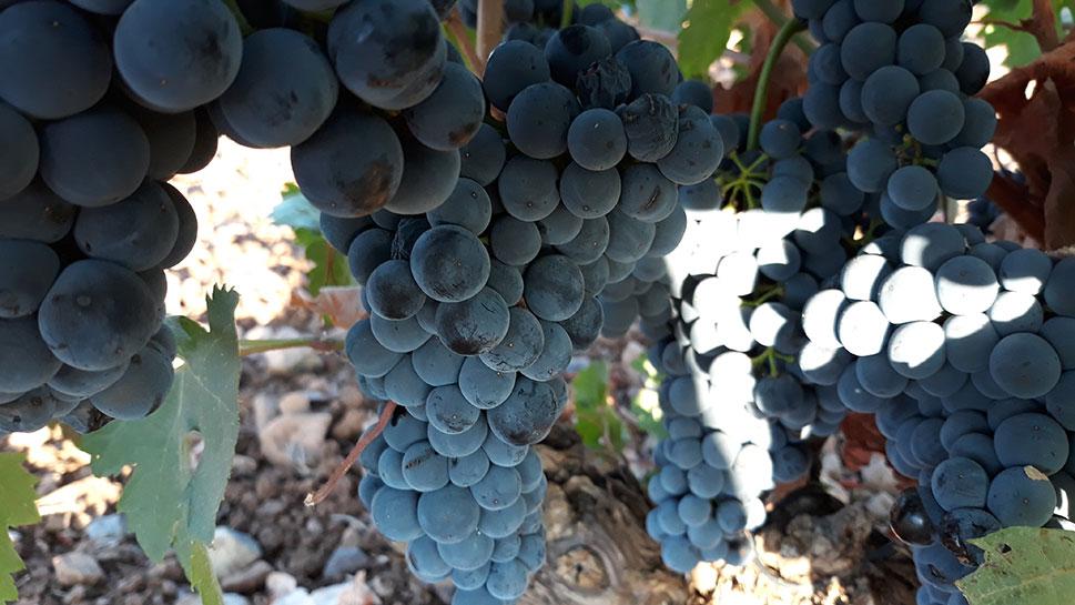 Extremadura trasladará al Ministerio de Agricultura las necesidades del sector del vino