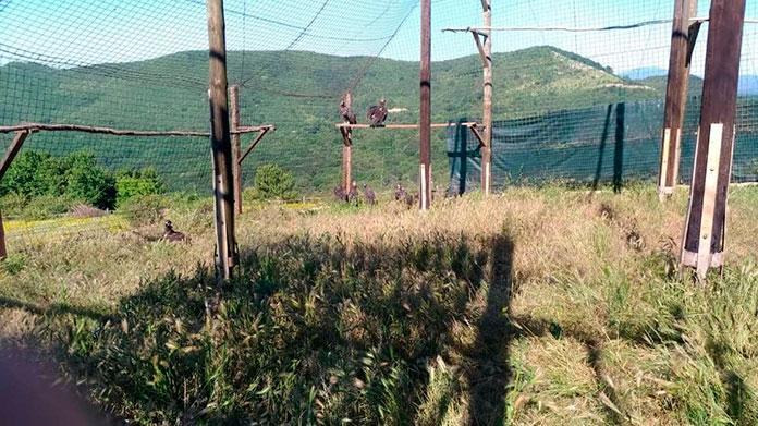 Aumenta el censo de buitre negro en Monfragüe y Sierra de San Pedro