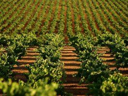 La producción de uva de vino asegurada crece un 25% en Extremadura en los últimos cinco años